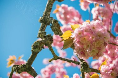 Selective focus of pink flowers on branches of cherry blossom tree against blue cloudless sky stock vector