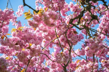 Pink flowers on branches of sakura tree against blue cloudless sky stock vector