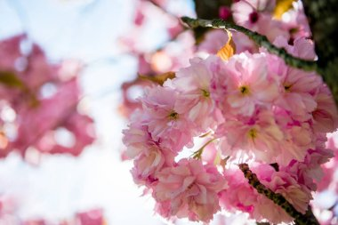 close up view of pink flowers on branches of cherry blossom tree
