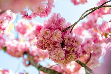 selective focus of pink flowers on branches of cherry blossom tree