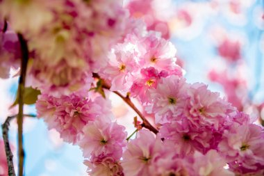 Close up view of pink flowers on branches of sakura tree stock vector