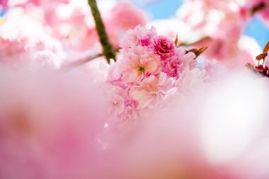 Selective focus of pink flowers on branches of cherry blossom tree stock vector