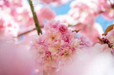 selective focus of flowers on branches of sakura tree