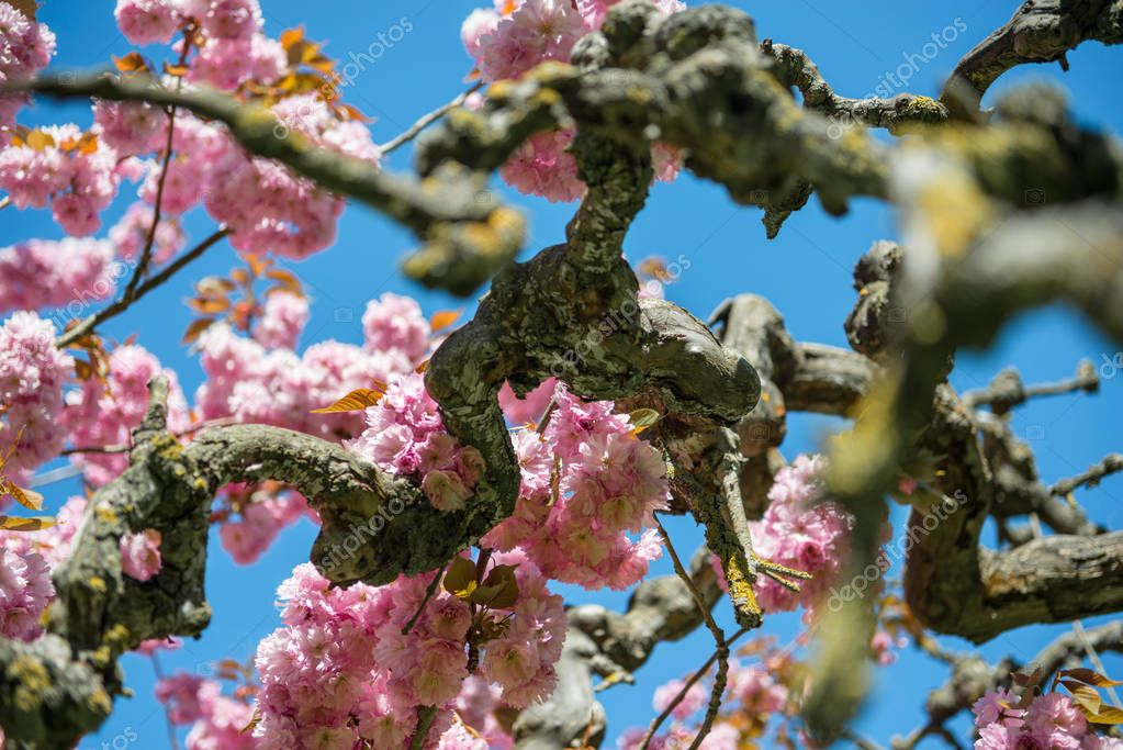 branches of sakura tree with pink flowers against bright blue sky