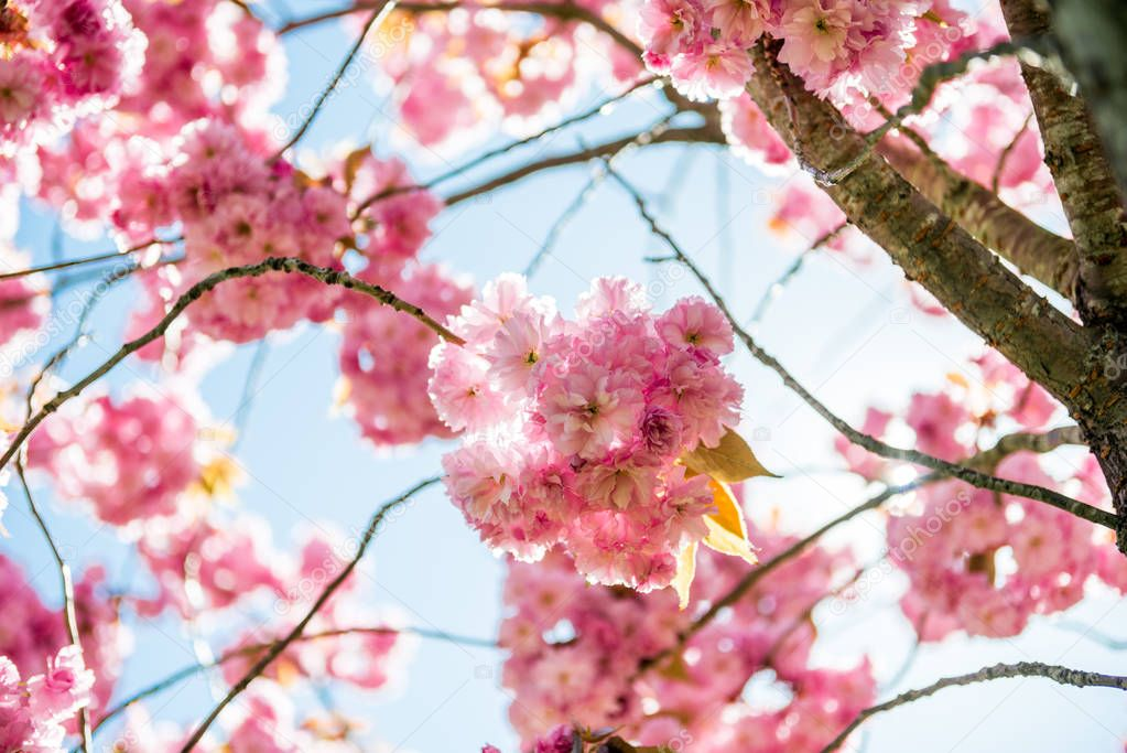 low angle view of pink flowers on branches of cherry blossom tree