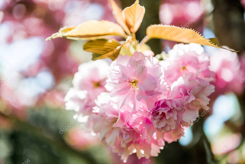 close up view of pink flowers on branch of sakura tree