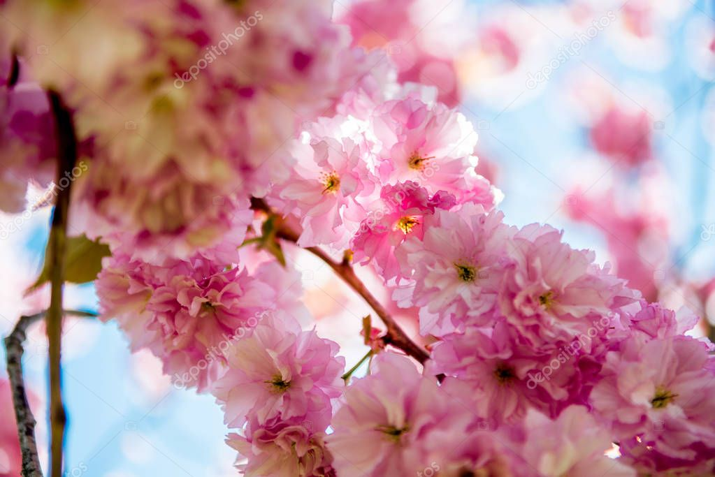 close up view of pink flowers on branches of sakura tree