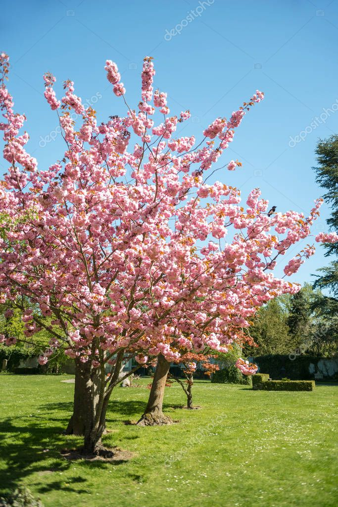 cherry blossom trees on green lawn in park of Copenhagen, Denmark