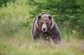 Fotografie Massive aggressive male brown bear. ursus arctos. on summer meadow.