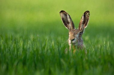 Wild European Hare, Lepus Europaeus, Close-Up On Green Background.