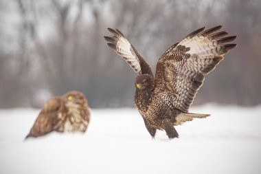 Common buzzards, buteo buteo, fighting in winter.