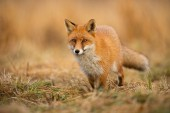 Photo Adult fox with clear blurred background at sunset.
