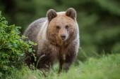 Fotografie flauschiger junger Braunbär, Ursus arctos, im Sommer.