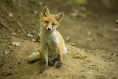 Photo Red fox, vulpes vulpes, cub in the forest near the burrow.