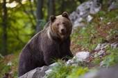 Domináns barna medve, ursus arctos állva egy rock-erdő.