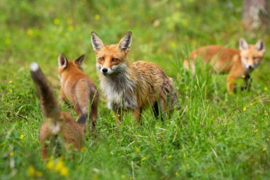 Red fox family with mother and three cubs hunting and playing on a glade