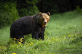 Photo Majestic brown bear standing on meadow in nature.