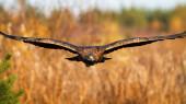 Prächtiger Steinadler fliegt im Herbst über das Feld.