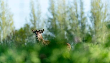 Curious red deer stag with new growing antlers behind bushes