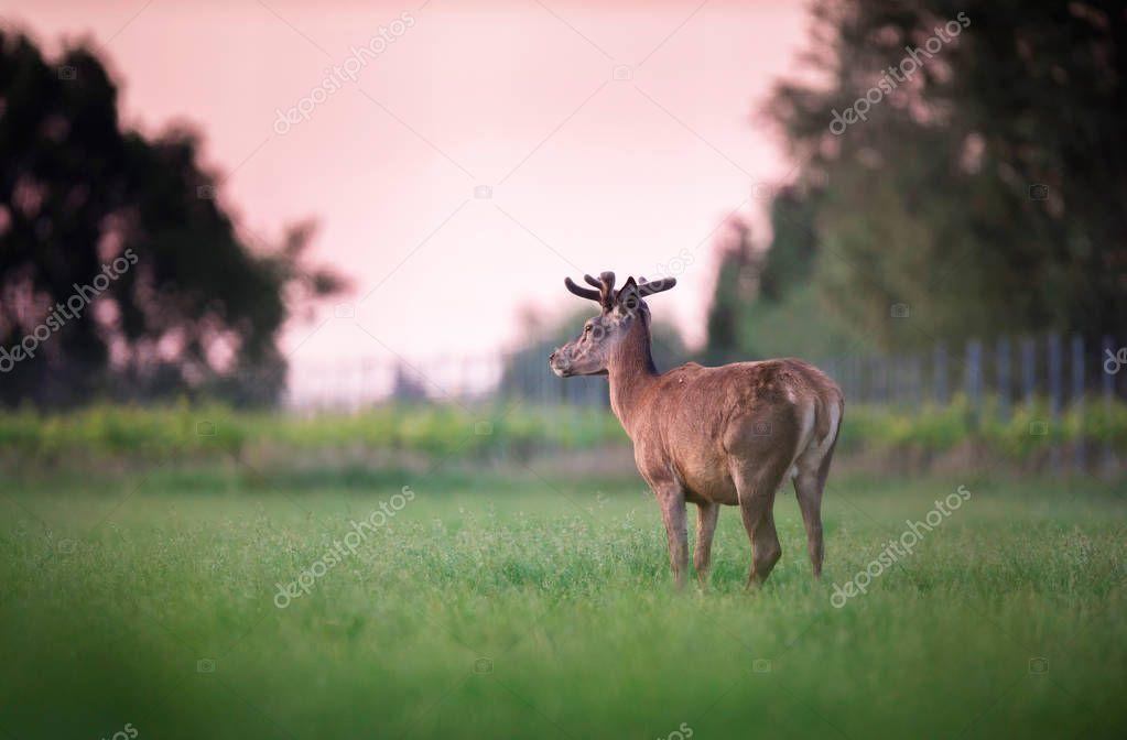 Red deer buck in spring meadow near vineyard at sunset.