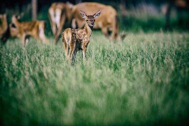 Red deer fawn in meadow near herd. stock vector