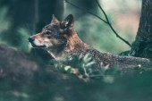 Fotografie Eurasian wolf roaming in woodland. Side view.