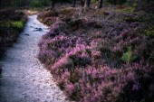 Photo Blooming heather with sandpath in moorland.