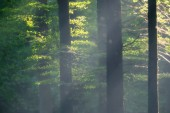 Paprsky světla v mlhavé podzimní les