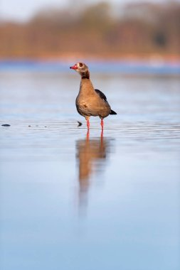 Egyptian goose standing in lake in morning sunlight. Profile vie
