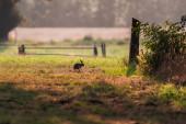 Hase sitzt in Ackerland im Gegenlicht.