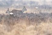 Photo Roe deer buck and doe in moorland in winter.