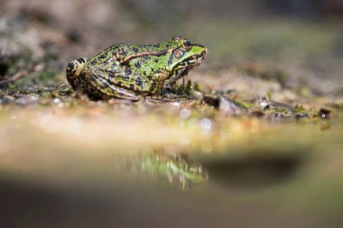 Female pool frog at edge of pond in forest.