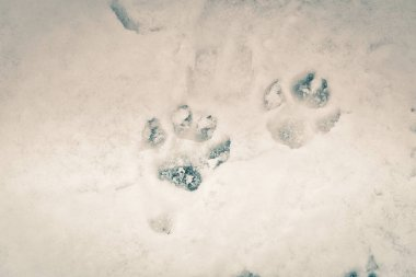 Traces of animals in snow. Deer, or moose, or wolf or, fox, or dog, paws footprints in the forest. Concept of hunting and shooting wild animals. Migration and mating time.