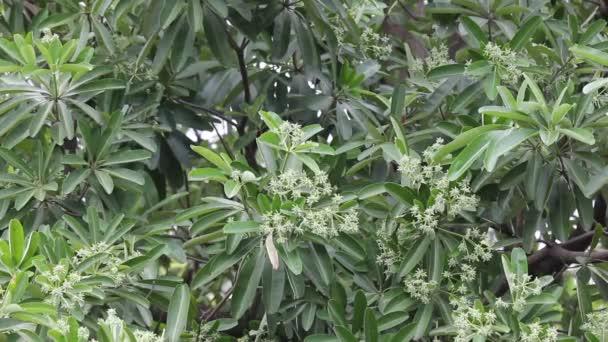 Green Flower of Blackboard Tree or Devil Tree