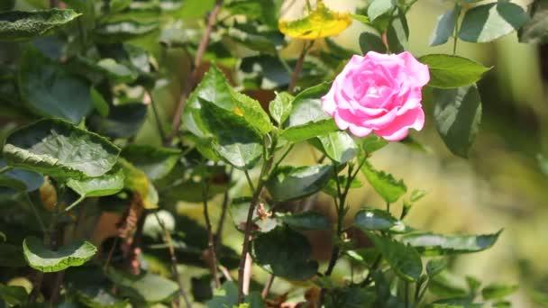 Vértes rózsaszín rózsa virág