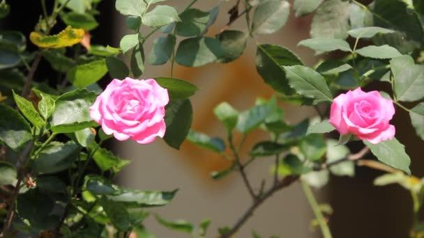closeup růžové růže květ