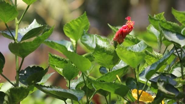 Piros Hibiscus Rosa közelről