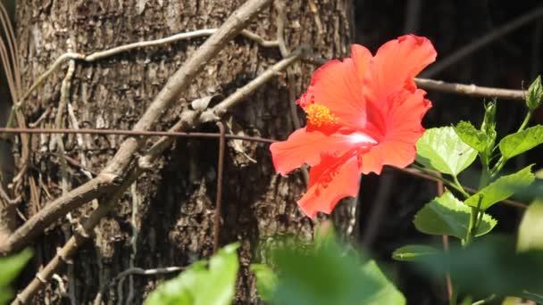 Hibiscus rosa-sinensis virág közelről