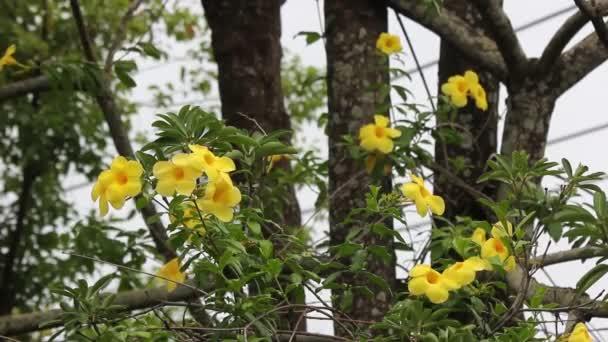 Blízká žlutá Allamanda s zeleným listovou pozadím