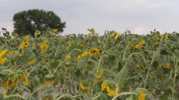 slunečnicová pole a strom