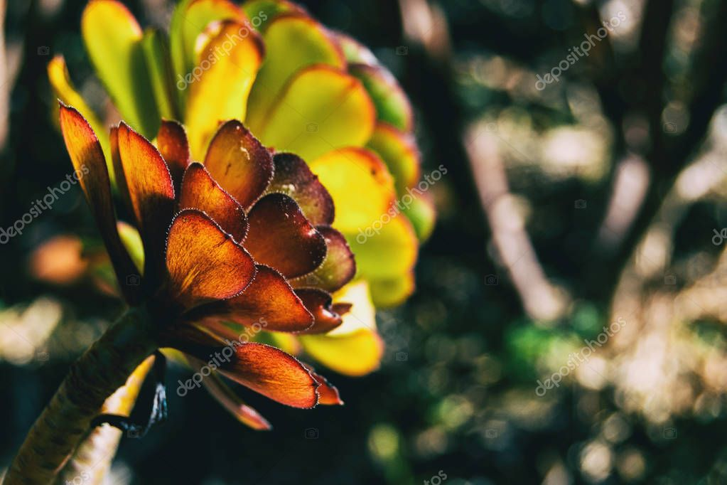 Detail of an aeonium arboreum taken by the side illuminated by sunlight