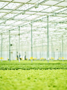 Perspective view of agricultural plant interior with abundance of green growing plants