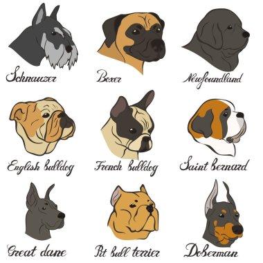 Boxer, doberman, english bulldog, french bulldog, newfoundland, pit bull terrier, saint bernard, schnauzer, great dane vector dog breed set. FCI Pinscher and Schnauzer breeds of universal appointment.