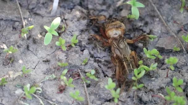 ein kleiner Schwarm schwarzer Ameisen greift eine verletzte Maulwurfgrille (gryllotalpidae) an. Kampf ums Leben in der Insektenwelt.