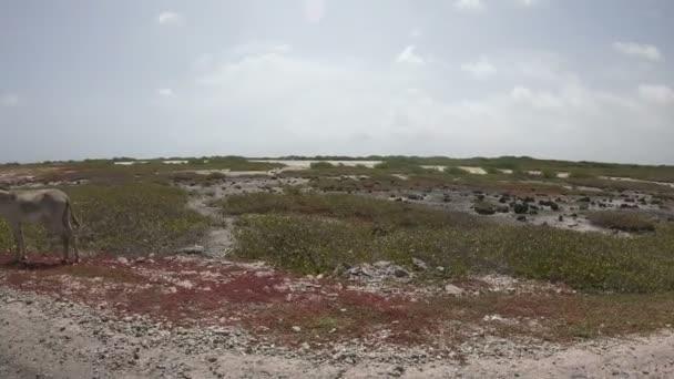 Donkeys in the desert on Bonaire