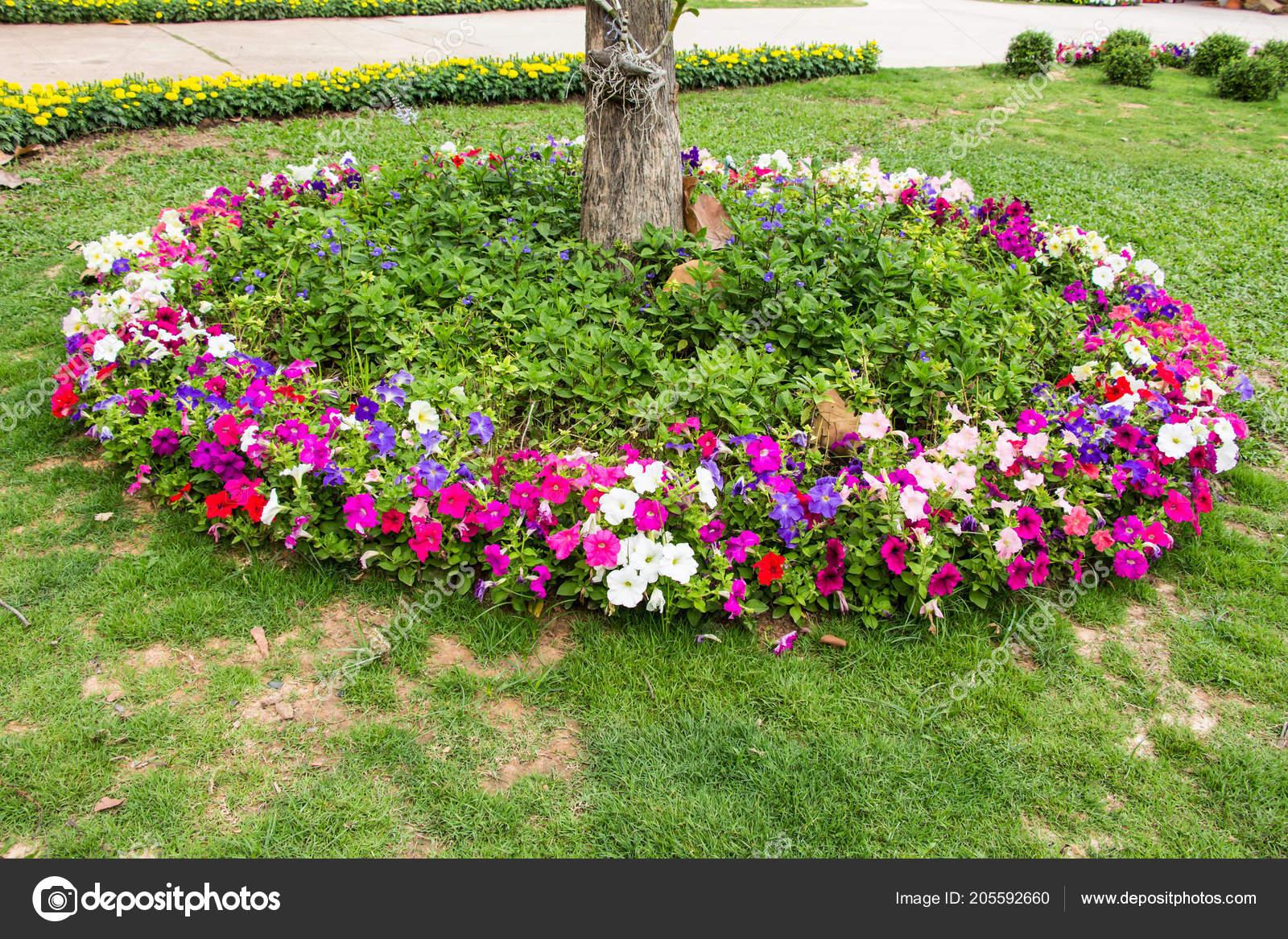 Petunia Flowerbed Summertime Stock Photo Image By C Jukree 205592660