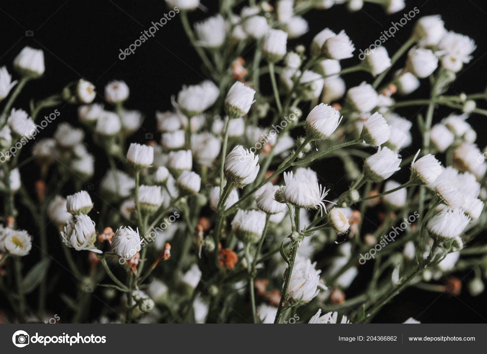 Dried Flowers White Gypsophila Stock Photo Artkvitka 204366862