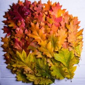 heap of colorful autumn oak leaves on wooden surface