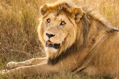 Closeup of a lion resting in the grass during safari in Serengeti National Park, Tanzania. Wild nature of Africa