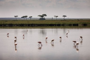 Group of flamingo birds on lake with acacia trees in background during safari in Serengeti National Park, Tanzania. Wild nature of Africa stock vector